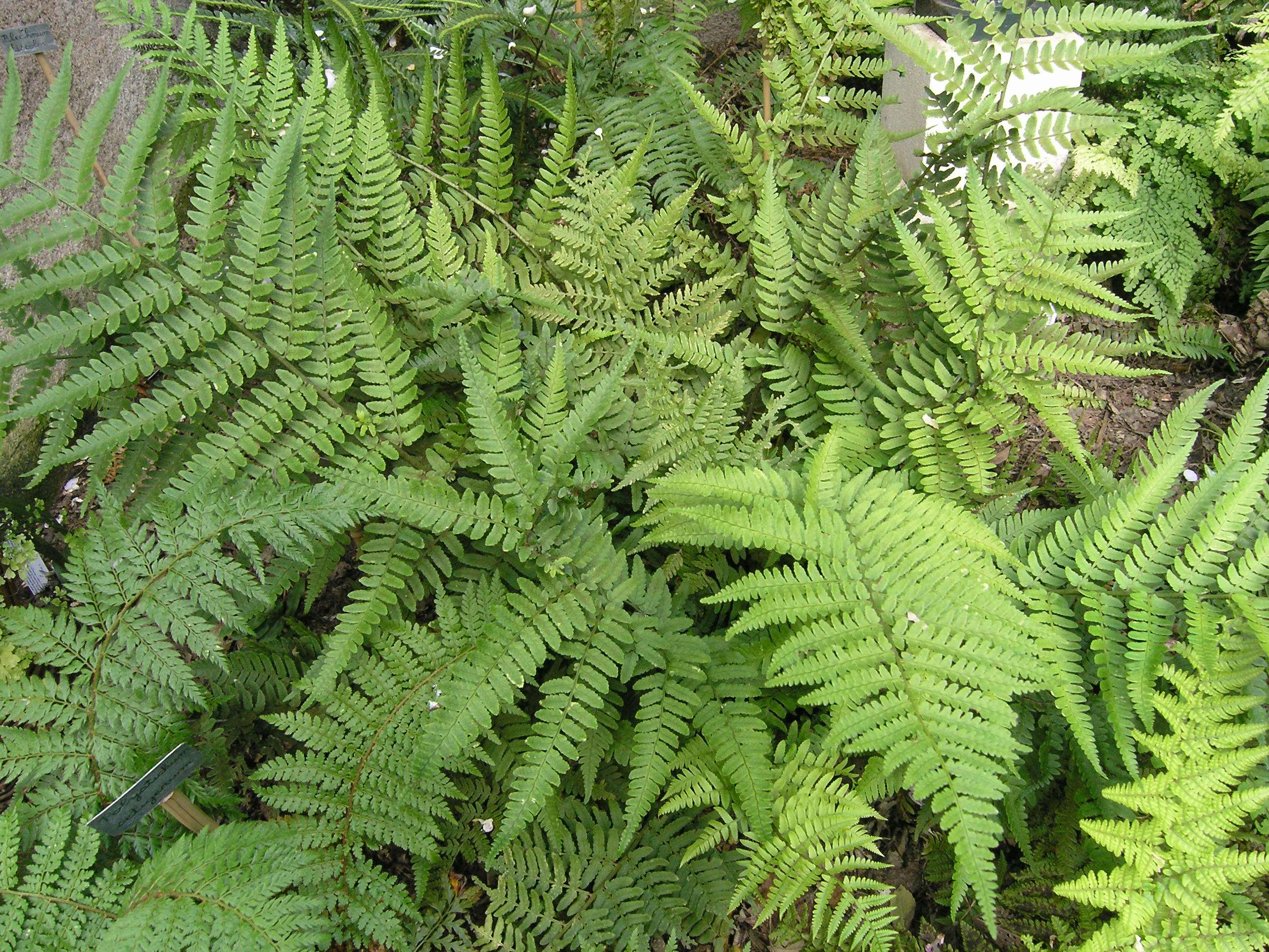 Dryopteris uniformis